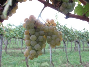 Some Olaszrizling Grapes