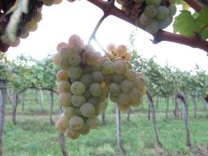 Some Olaszrizling Grapes